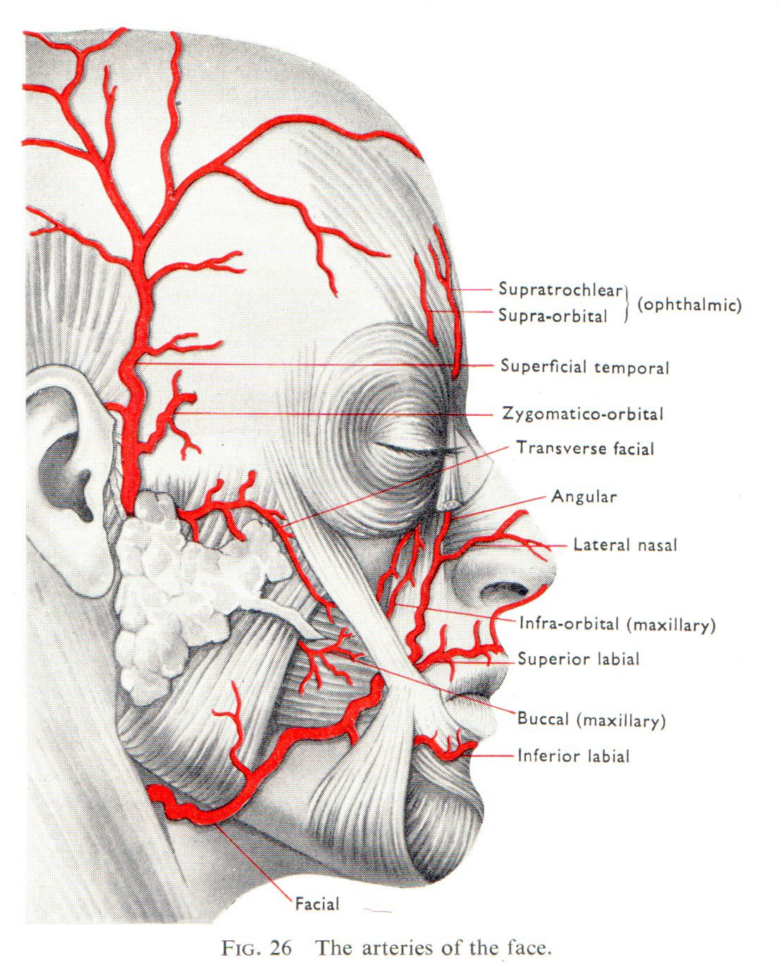 The locations of arteries of the face.
